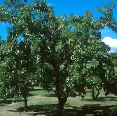 Black Sapote Tree Picture
