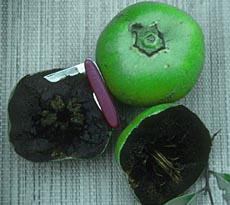 Black Sapote Picture